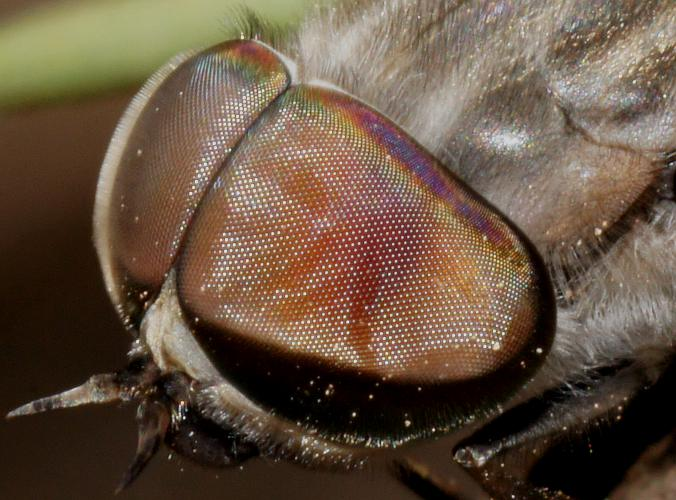 A Fly's Hairy Compound Eye