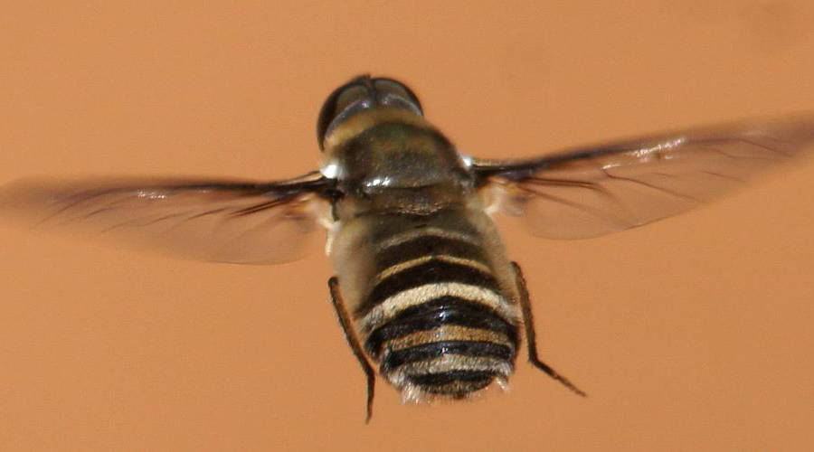 Villa Bee Fly
